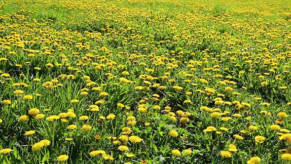 Yellow Dandelion Field