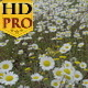 White Daises on the Field - VideoHive Item for Sale