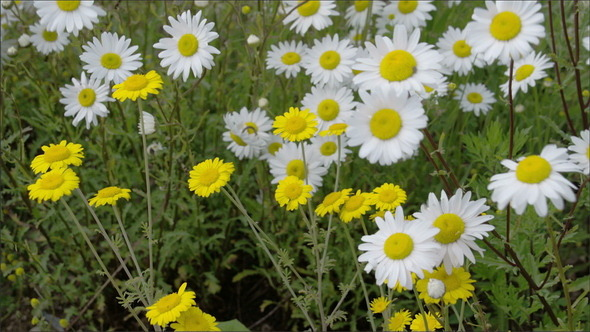 Yellow and White Daisies Waving