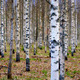 Panoramic view of birch forest - PhotoDune Item for Sale