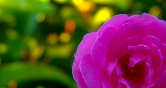 Spinning Wild Rose