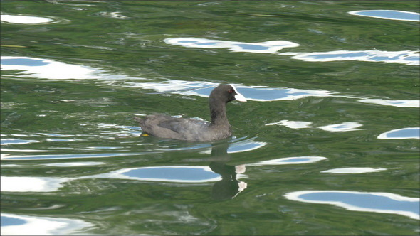 A Small Eurasian Coot Floating on the Lake
