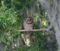 Barred Owl - PhotoDune Item for Sale