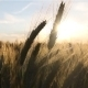 Golden Wheat in Sunlight - VideoHive Item for Sale