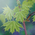 Young leaves of maple. - PhotoDune Item for Sale