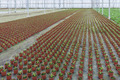 Cultivation of indoor plants in a Dutch greenhouse - PhotoDune Item for Sale