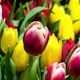 Bouquet of Bright Tulips Blooms - VideoHive Item for Sale