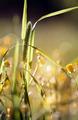 Wild grass - Timothy-grass (Phleum pratense)  - PhotoDune Item for Sale