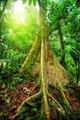 Giant tree in rainforest - PhotoDune Item for Sale
