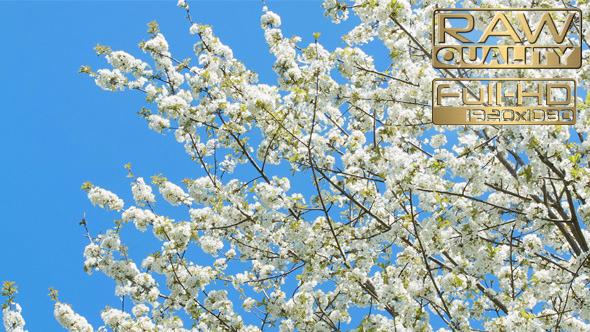 Spring Time Blooming Tree