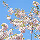 Spring Time Pink Blooming Tree  - VideoHive Item for Sale