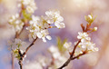 Blossoming of cherry flowers  - PhotoDune Item for Sale