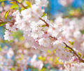 Apple Tree in Blossom at Springtime - PhotoDune Item for Sale