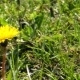 Yellow  Dandelion in grass Spring Time - VideoHive Item for Sale