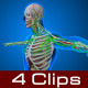 Human Anatomy - VideoHive Item for Sale