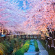 cherry blossoms, busan city in south korea - PhotoDune Item for Sale