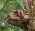 Adult orangutan resting on tree trunk - PhotoDune Item for Sale