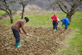 Family of peasants sowing potatoes - PhotoDune Item for Sale
