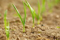 Row of baby garlic on a lawn - PhotoDune Item for Sale