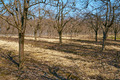 Rows of plum trees in an orchard - PhotoDune Item for Sale