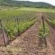 Wineyard - PhotoDune Item for Sale