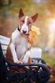 Red English bull terrier on a bench  - PhotoDune Item for Sale
