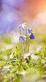 Spring blue snowdrop - a Scilla Siberica  - PhotoDune Item for Sale