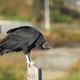 Black Vulture - PhotoDune Item for Sale
