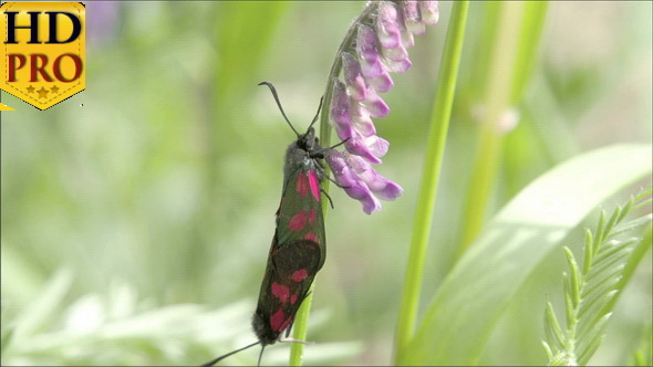A Red Spotted Black Butterfly Hanging