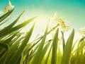 Daffodil - PhotoDune Item for Sale