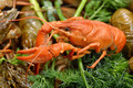 Boiled crayfish with dill - PhotoDune Item for Sale