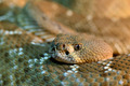 Red diamond rattlesnake - PhotoDune Item for Sale