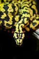 Jungle carpet python - PhotoDune Item for Sale