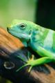 Green lizard, Fiji banded iguana - PhotoDune Item for Sale