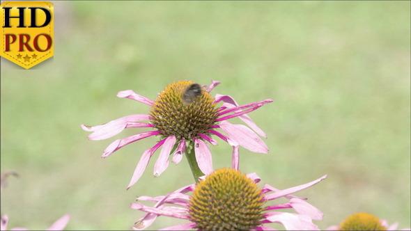 A Bee Transferring from One Purple Cornflower