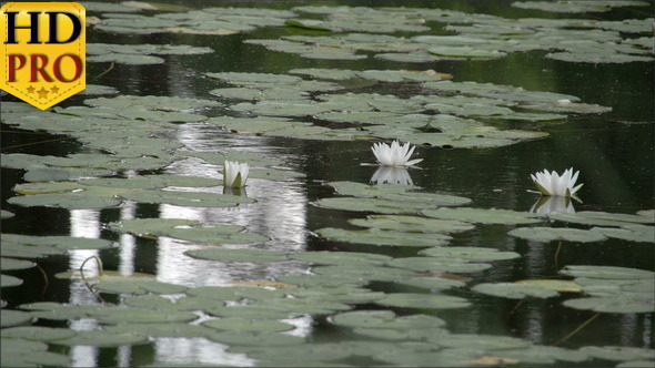 Set of Water Lilies on the Pond