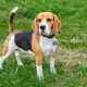 dog Beagle breed standing on the green grass - PhotoDune Item for Sale