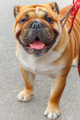 dog English Bulldog breed - PhotoDune Item for Sale