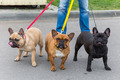 three domestic dogs French Bulldog breed - PhotoDune Item for Sale