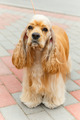 Cute sporting dog breed American Cocker Spaniel - PhotoDune Item for Sale