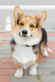 dog Pembroke Welsh corgi smiling - PhotoDune Item for Sale