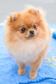 dog sable German Toy Pomeranian breed - PhotoDune Item for Sale