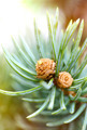 Fresh pine tree sprout - PhotoDune Item for Sale