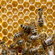 bees swarming on a honeycomb - PhotoDune Item for Sale