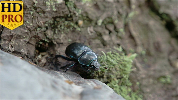Blue Greenish Shiny Dung Beetle Trying to Curl Up