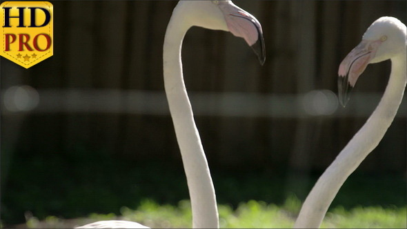The Long Neck and Big Beak of the Flamingoes