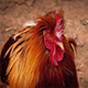 Cockerel On The Farm - VideoHive Item for Sale