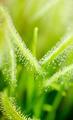 Green leaves of sundews - PhotoDune Item for Sale