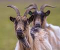 Billy goat portrait - PhotoDune Item for Sale