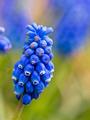 muscari or grape hyacinth - PhotoDune Item for Sale